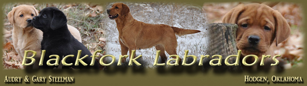 english fox red labradors iowa, puppies for sale, fox red labrador, litters iowa breeders, fox red lab puppies iowa, labrador breeders iowa, english labradors iowa, labs, yellow labs, black labs, chocolate labs,  labrador retrievers wisconsin, illinois, minnesota, nebraska, ohio,  labrador, retrievers, kansas, breeder, champion pedigree labradors,